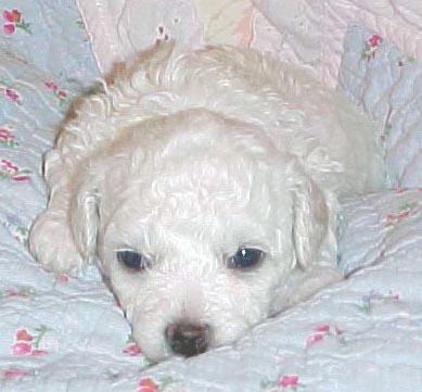 Bichon Frise Puppies for Sale, Purebred Registered Bichon ...