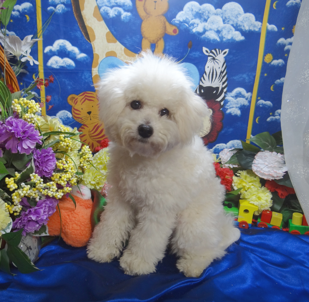 Bichon Frise Puppies for Sale, Purebred Registered Bichon